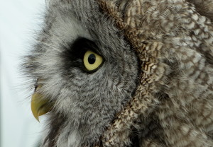 Profile Of An Owl